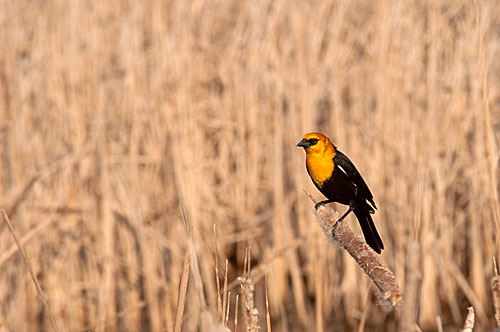 Yellow Breasted Blackbird