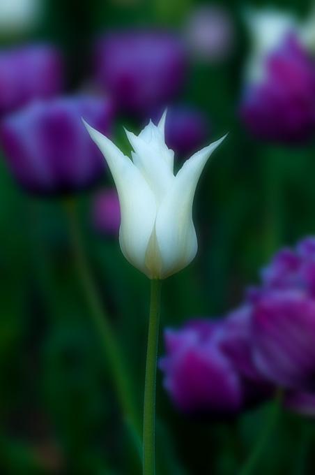 Among the Purple